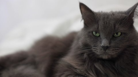 Fluffy gray cat lies on the couch and is sad. Selective focus.