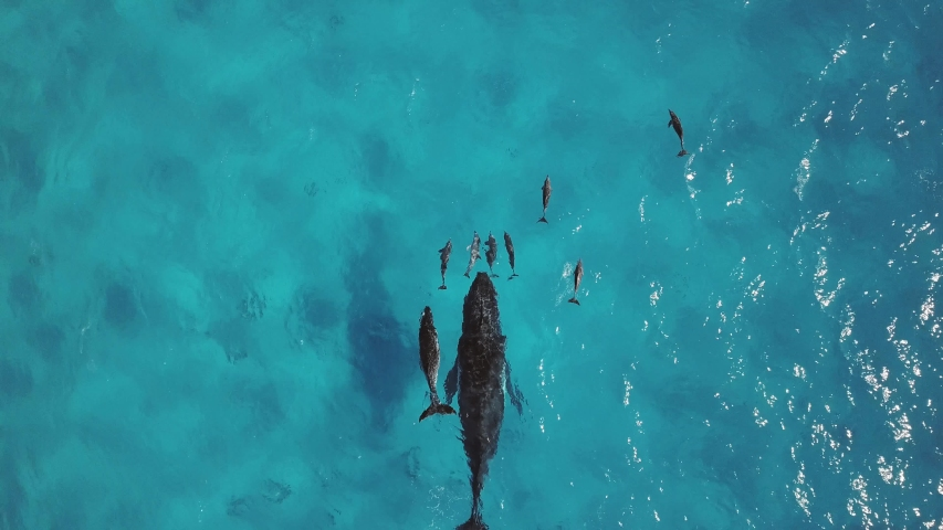 Drone footage of a Humback Whale mother as she introduces her calf to Dolphins for the first time on the Great Barrier Reef