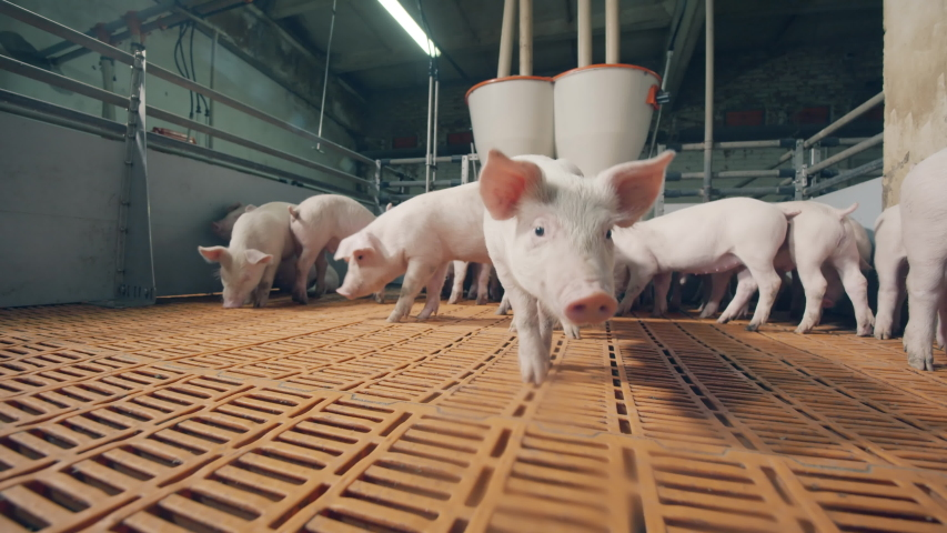Young pigs in the farm yard sniffing the camera. Pigs in a pigsty on a pig farm Royalty-Free Stock Footage #1042711903