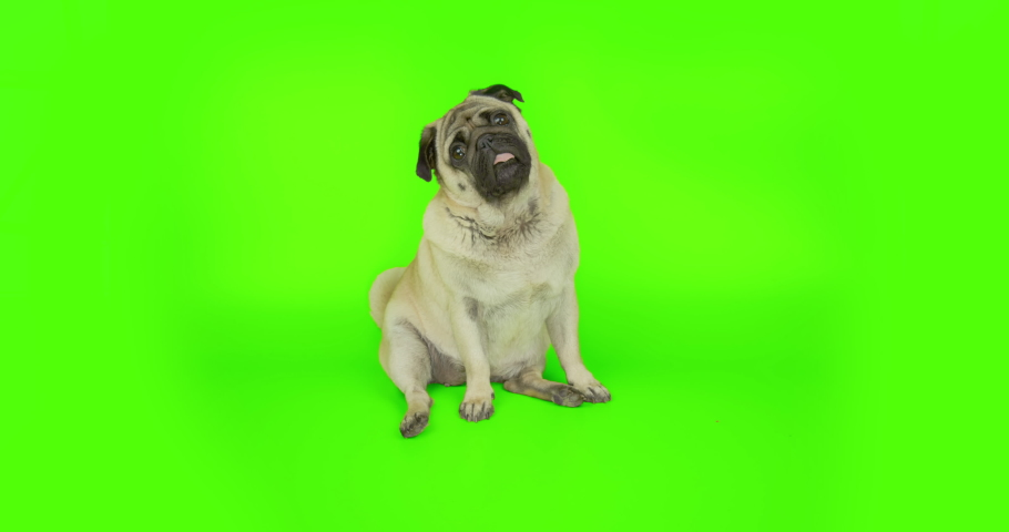 Very interested dog.  Pug standing up in surprise. Expressive reaction.  Green screen  | Shutterstock HD Video #1042783945