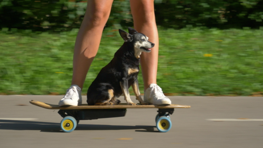CLOSE UP, LOW ANGLE: Funny shot of a puppy riding an e-longboard with fit young woman. Adorable senior dog sits on the electric skateboard and cruises through the sunlit park with its active owner.