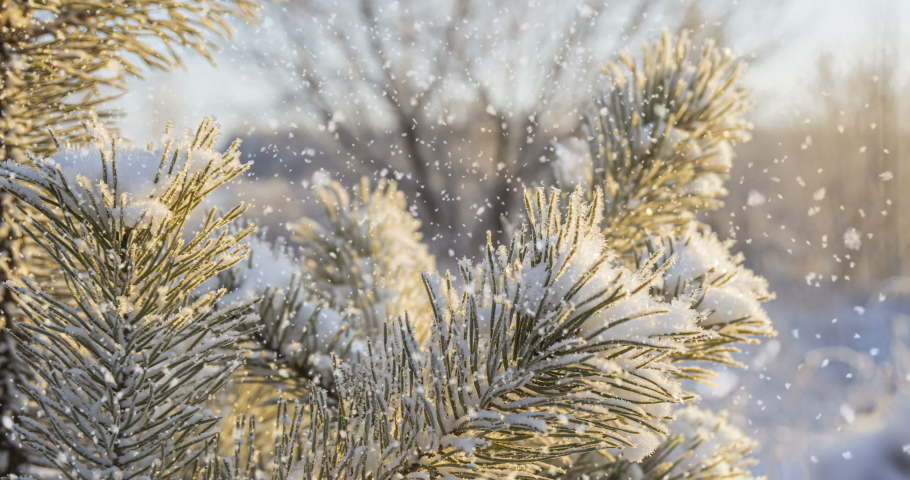 CINEMAGRAPH. Snow falling at the fir trees branches close up 4K Royalty-Free Stock Footage #1042974610