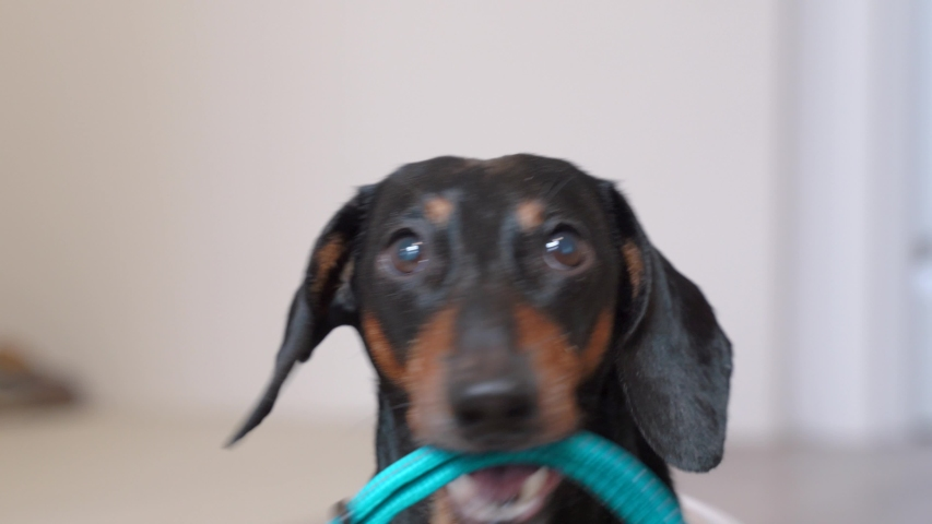A close up portrait of a dachshund dog, black and tan, holding a blue collar in its mouth, barking,  hinting at the owner that he wanting to go for a walk