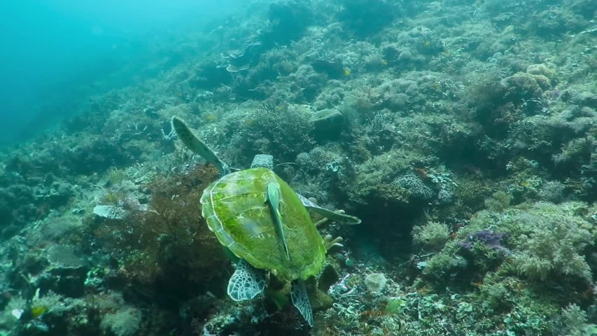 Swimming sea turtle with remoras (Echeneidae) on shell, tropical coral reef. Strong current in murky green water. Corals and tortoise. Underwater photography from scuba diving with ocean turtle.  | Shutterstock HD Video #1043179864