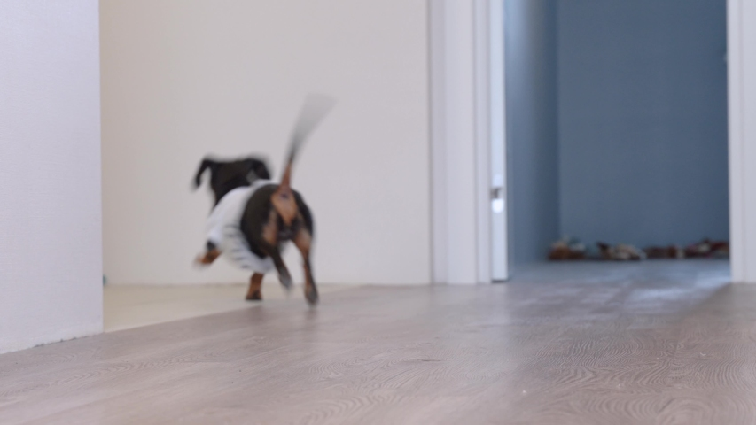 Cute dachshund dog in a white T-shirt with print bringing a blue leash from the room, hinting to the owners that he wanting to go for a walk, barking and wagging his tail. Royalty-Free Stock Footage #1043389780