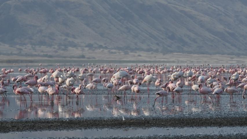 Colony of Flamingos on the Natron lake. Lesser Flamingo Scientific name: Phoenicoparrus minor. Tanzania, Africa.