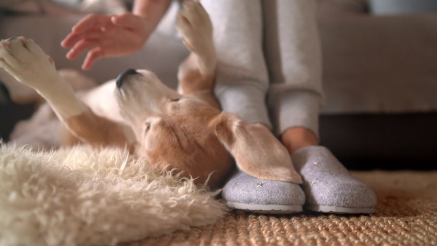 Beagle dog female owner caress stroking her pet lying on the back on natural stroking dog on the floor and enjoying the warm home atmosphere. | Shutterstock HD Video #1043471884