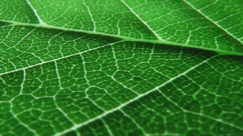 Macro shot of leaf, texture footage. Organic plant and leaf's vein with pan movement.