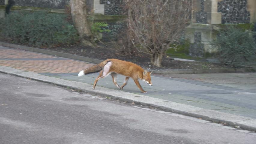 A fox is running on a street. | Shutterstock HD Video #1043486230