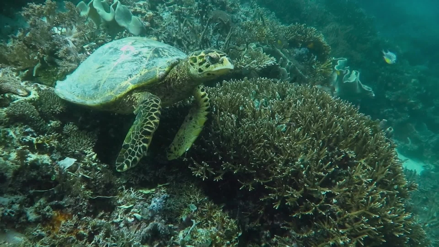 Sea turtle (Eretmochelys imbricata) with remoras (Echeneidae) on shell. Tropical reef and current in murky green ocean. Corals and tortoise. Underwater video from scuba diving with ocean turtle.  | Shutterstock HD Video #1043506774