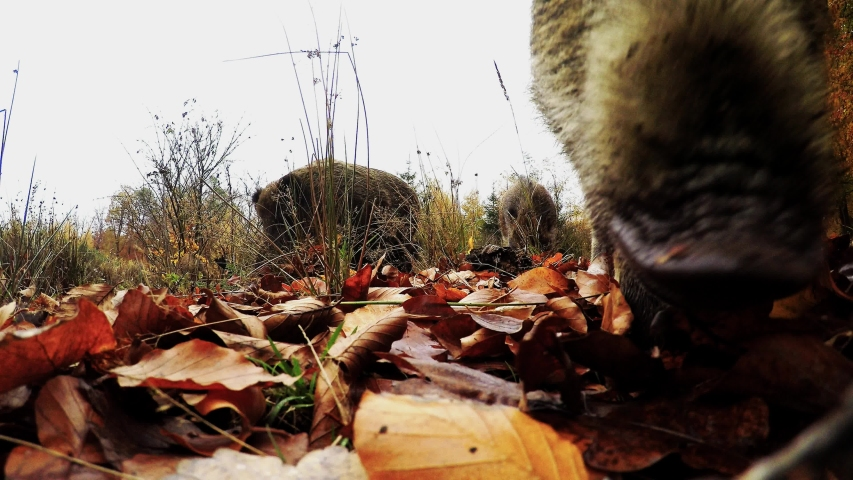 Wild boar search feed on the forest floor, wide angle lens, autumn, (sus scrofa), gopro, germany