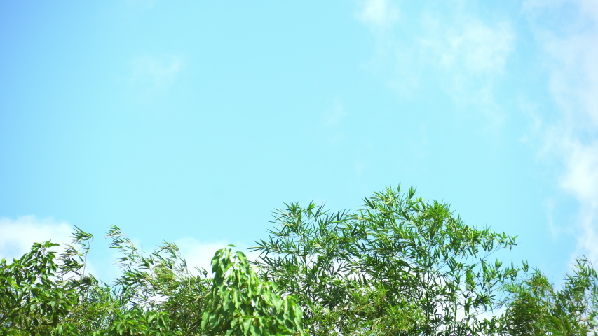 Green leaves bamboo tree blowing in wind, leaf on blue background, tree and blue sky, Tree branch blowing in wind