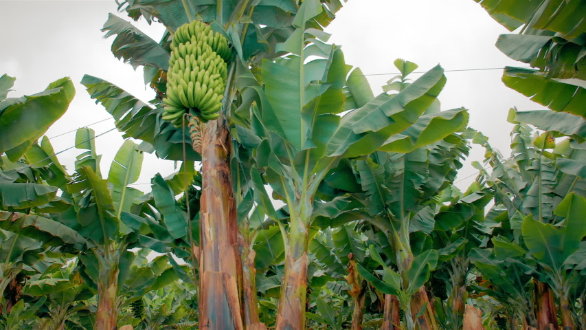 Banana plantation. banana trees with huge green leaves. A bunch of green growing bananas. The concept of organic food.