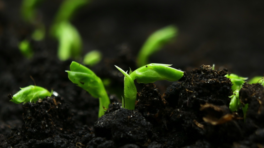 Growing plants in Spring Timelapse, Sprouts Germination newborn Pea plant in greenhouse agriculture | Shutterstock HD Video #1043734189