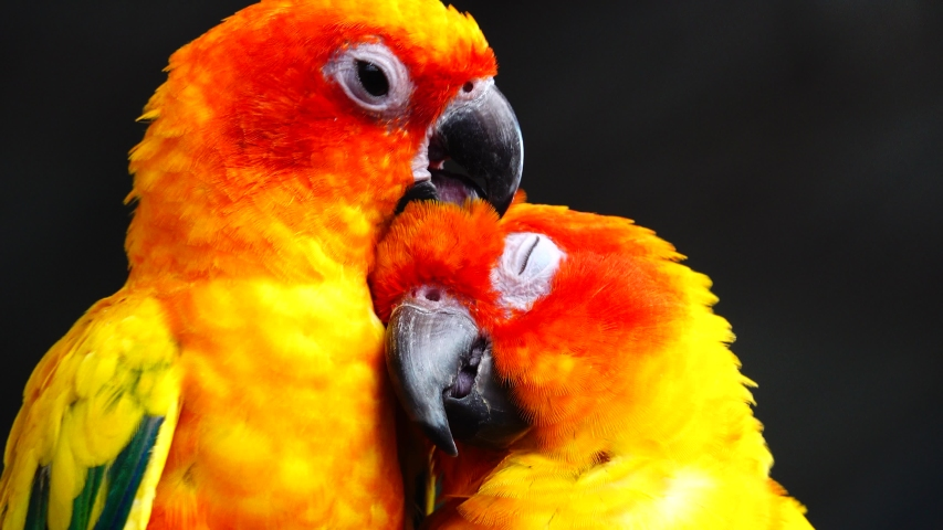 4K The sun parakeet beautiful colours of yellow orange and red (Aratinga solstitialis) also known as the sun conure bird in thailand. | Shutterstock HD Video #1043765734