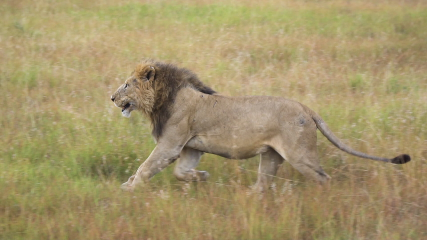African Lion Running Close Up Slow Motion 120fps. Wild Animal in Natural Habitat, Savanna of Natural Preserve | Shutterstock HD Video #1043796136