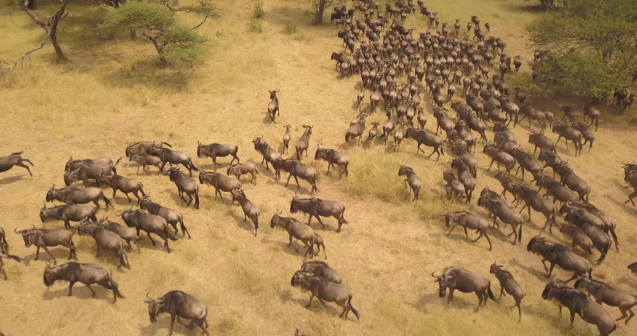 Bird Eye Aerial View of Wildebeest aka Gnu Huge Herg in Migration, Running on Grassland in African Savanna, Tanzania National Park Royalty-Free Stock Footage #1043796946