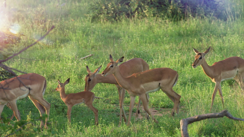 Herd of Impala antelope babies running amongst the adults at Sunset, Baby impala are born ready to run. African Safari. RED Camera, Slow motion. | Shutterstock HD Video #1043804482