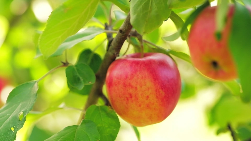 Apple tree with red apples close up in sunlight. Red apple grow on a branch. Selective focus at apple