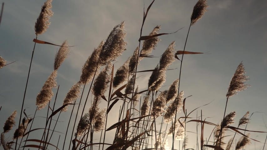 Reeds Sway On Wind And Sun Rays.Wild Grass Sway From Wind Against Sky.Reed In Meadow Sways.Grass Blowing On Nature Autumn Field .Fall In Herb Meadow On Pond Countryside.Nature Windy Day.Golden Sunset.
