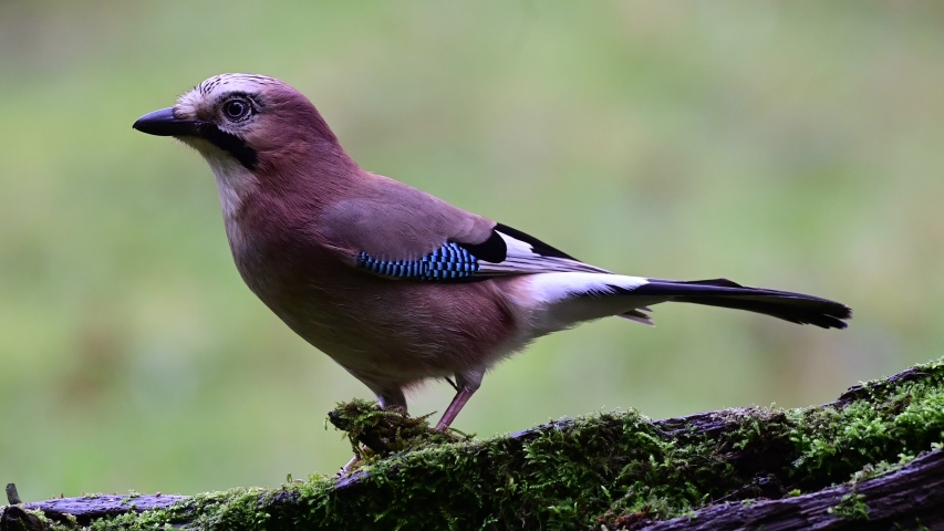Jay collect acorns from the deadwood, winter, (garrulus glandarius), germany
