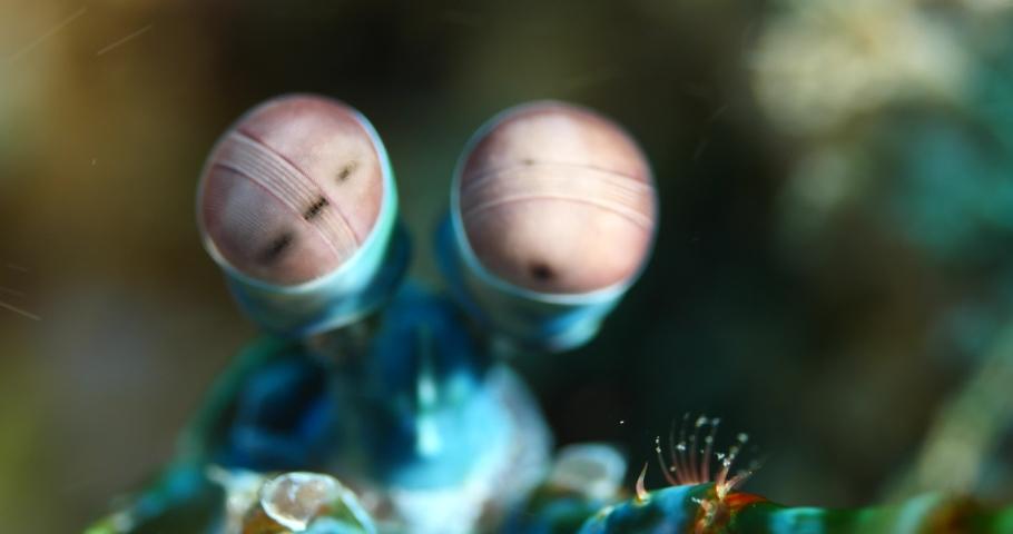 mantis shrimp close up scenery strange eyes underwater scenery mantis shrimp fish Royalty-Free Stock Footage #1043999146