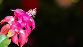 A motion timelapse footage of hummingbird visiting pink flower with dew drops