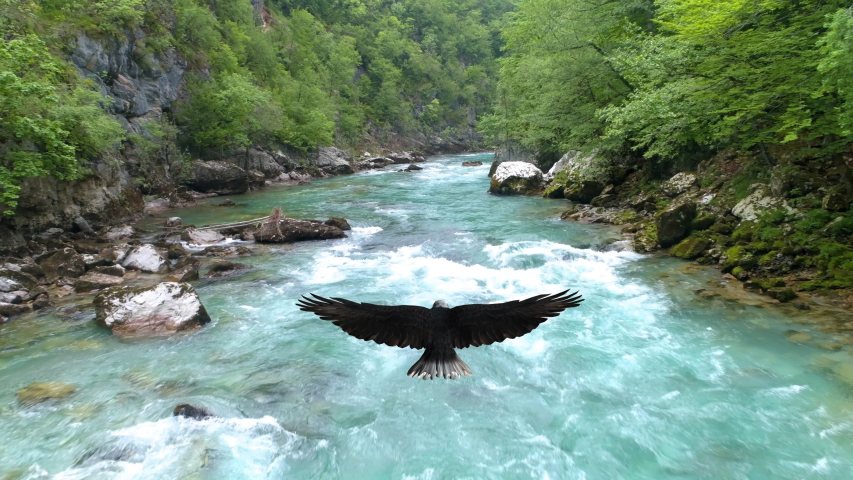 Bald eagle flies over the Tara River. Montenegro.