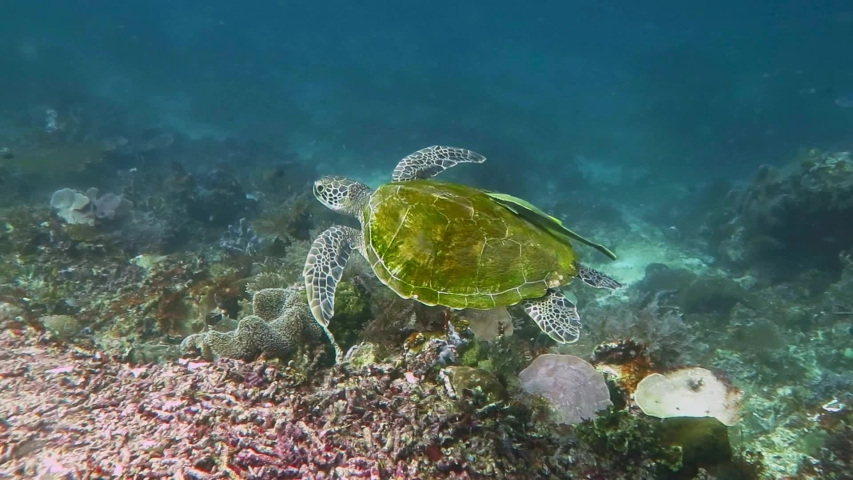 Tropical coral reef, murky water and swimming sea turtle with remora (Echeneidae) on shell. Marine animal in murky ocean. Corals and wild turtle. Underwater video from scuba diving with ocean life.  | Shutterstock HD Video #1044178321