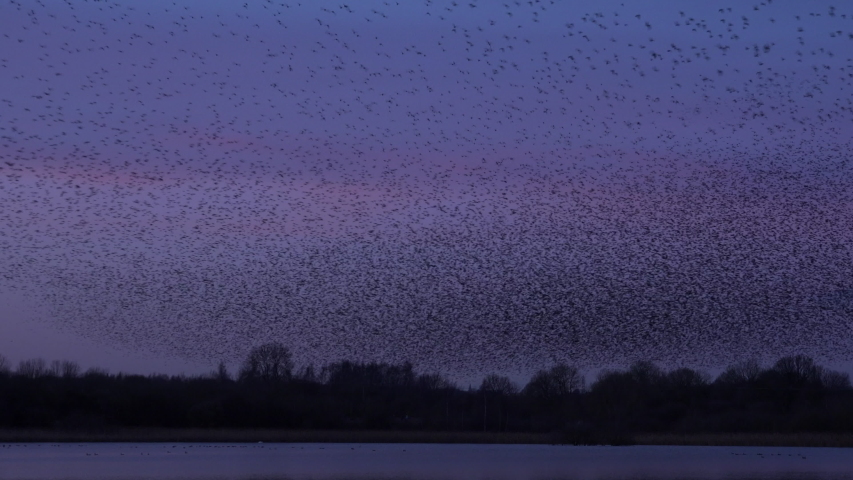 Starling murmuration in the evening sky as thousands of birds flock together in migration UK 4K | Shutterstock HD Video #1044179971