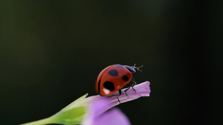 Slow motion of the moment when a ladybug flies. | Shutterstock HD Video #1044205474