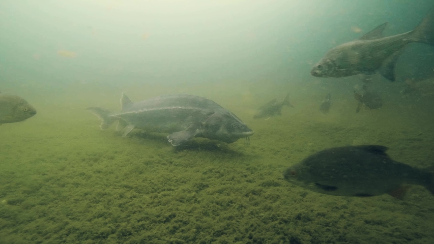 Freshwater fish Russian sturgeon, acipenser gueldenstaedti in the beautiful clean river. Underwater footage of swimming sturgeon in the nature. Wild life animal. River habitat, nice background. | Shutterstock HD Video #1044256165