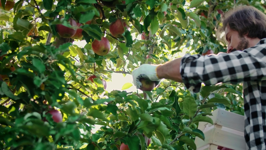 Handheld view of mature men picking apples in the orchard