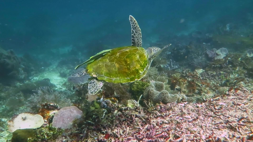 Marine animal in murky ocean. Corals and wild water turtle. Underwater video from scuba diving. Tropical coral reef, murky water and swimming sea turtle with remora (Echeneidae) on shell.   | Shutterstock HD Video #1044459622