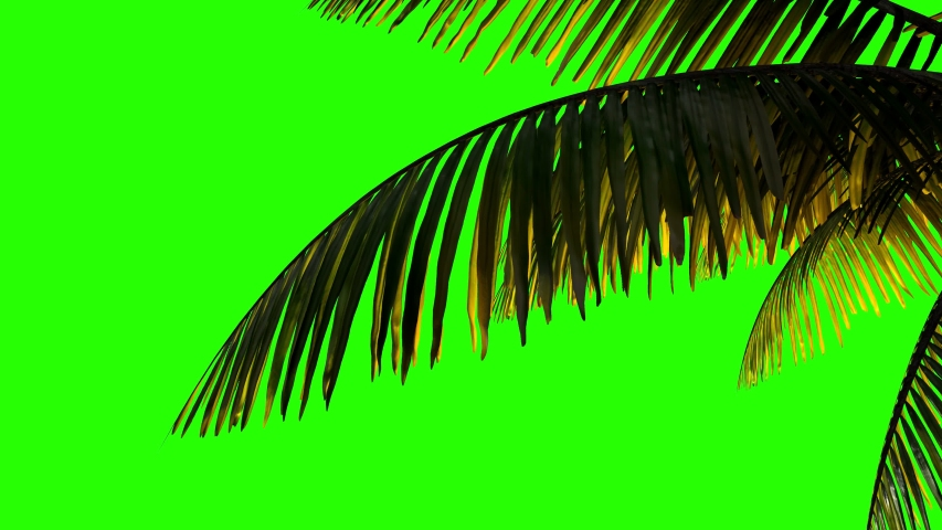 Palm branch and leaves in the wind on a greenscreen background.