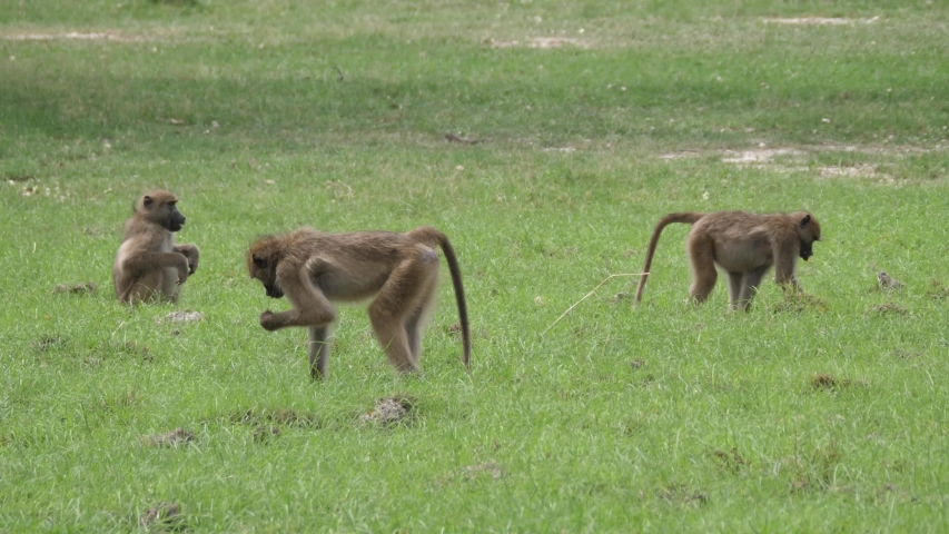 Two Baboons walking around on a grass field in Moremi Game Reserve, Botswana