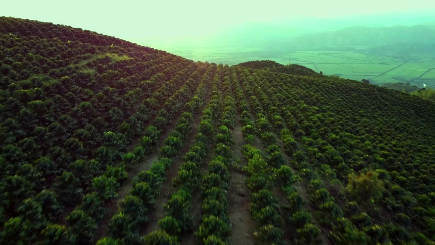 Coffee farm coffee plant colombian coffee aerial view coffee drone