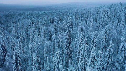 Flying over snowy spruce trees. Frozen winter forest at cloudy evening. Wild nordic woods. Picturesque landscape.