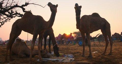 Famous indian camels trade Pushkar mela camel fair festival in field. Camels eating chewing at sunrise. Pushkar, Rajasthan, India
