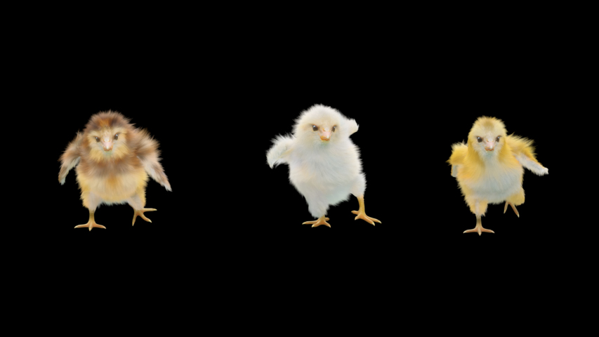 Baby Chickens Dance CG fur 3d rendering animal realistic composition 3d mapping cartoon, Animation Loop, Included in the end of the clip with Alpha matte.
