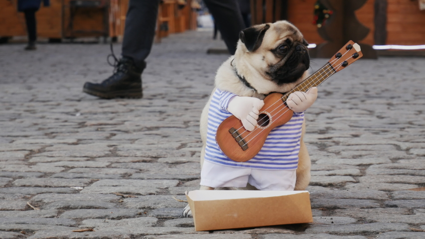 Cute funny pug dog earning with playing music wearing in costume with guitar on the city street, passerby throws money in a box, people on background