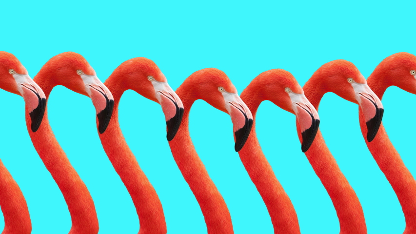 Animated Pink Flamingo Walking Sequence On Bright Blue Background. Looped Animation. Motion Graphics.