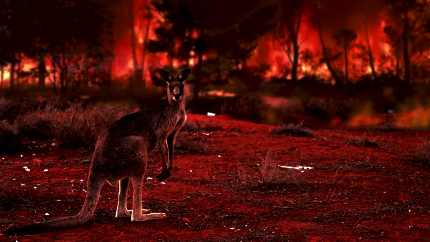 Kangaroo covered by ash and smoke during the bush fires in Australia. Fire crisis in Australia | Shutterstock HD Video #1044853390