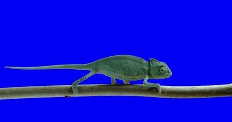 Animal reptile chameleon bluescreen video