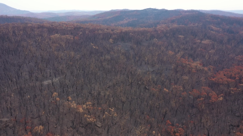 A large area of eucalyptus gum trees severely burnt by bushfire in The Blue Mountains in Australia