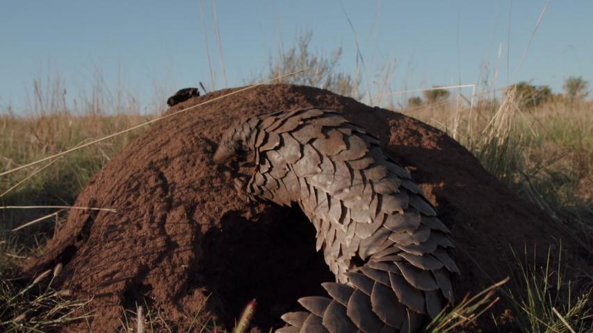Pangolin walking around termite mound feeding
