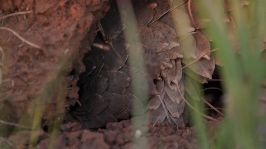 Pangolin going into termite mound feeding on termites