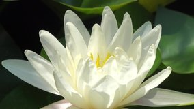 Time lapse footage of white water lily flower opens and closes with zoom effect . Accelerated fast HD video Nymphaea blooming in the pond is surrounded by leaves