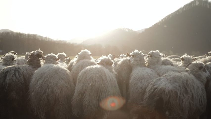 Herd of Sheep's Walking on the Field between Mountains and halls, nice animals. Beautiful Nature and endless steppes in the Background. Shadow of the Clouds. Slow motion video of Sheep. | Shutterstock HD Video #1045089667