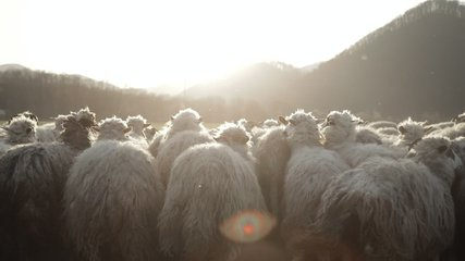Herd of Sheep's Walking on the Field between Mountains and halls, nice animals. Beautiful Nature and endless steppes in the Background. Shadow of the Clouds. Slow motion video of Sheep.